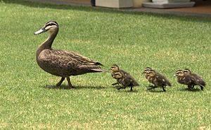 300px-Duck_%26_Ducklings_Morning_Walk.jpg