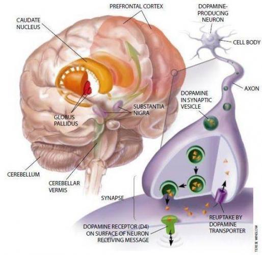 svyaz-retikulyarnoy-formacii-stvola-mozga-s-talamicheskimi-strukturami_s.jpg
