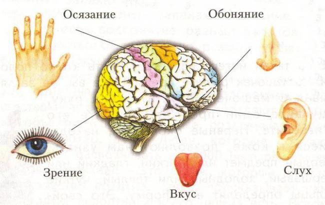 organy-chuvstv.jpg