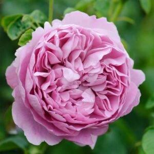 английская-роза-300x300.jpg